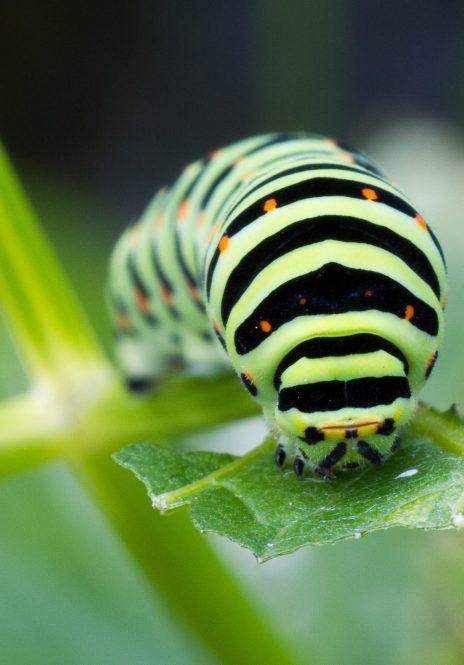 Raupen- oder Larvalstadium